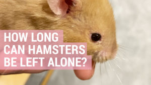 Why does your hamster smell? Cage cleanliness and hamster scents